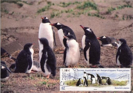 67 po595 30 08 2011 manchots papous